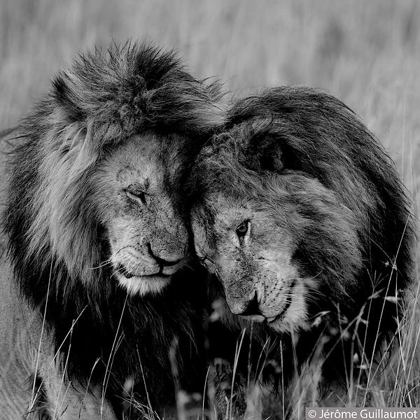 2 Lions in black and white