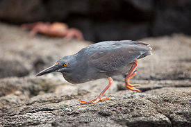 The Galapagos Heron, also known as the lava heron, is found with bright orange legs during it's breeding season.
