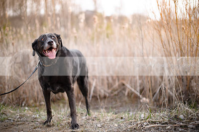 smiling senior black labrador retriever standing by reeds