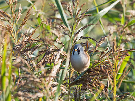 Bearded Tit Panurus biarmicus adult male in reedbed in early autumn North Norfolk