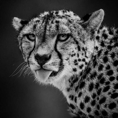 Tongue of cheetah, Kenya 2015 © Laurent Baheux