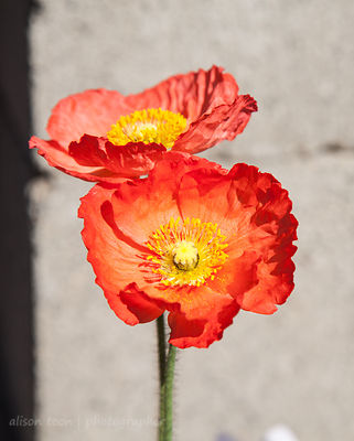Icelandic poppies in bloom