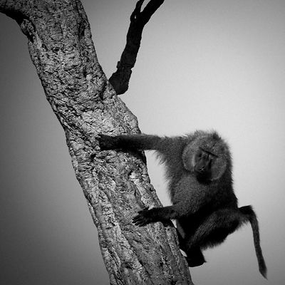 9970-Baboon_in_a_tree_Kenya_2006_Laurent_Baheux