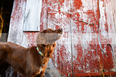 longhaired red dog sniffing air by barn boards
