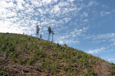 Solitary trees sit atop a hill in a clearcut on the Willamette National Forest in Oregon. Wide-angle.