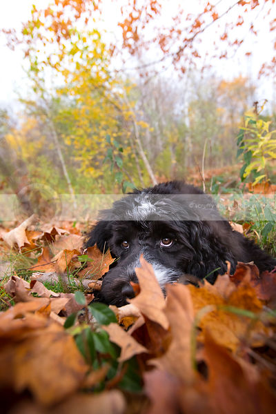 expressive cute puppy chewing on stick lying in autumn leaves