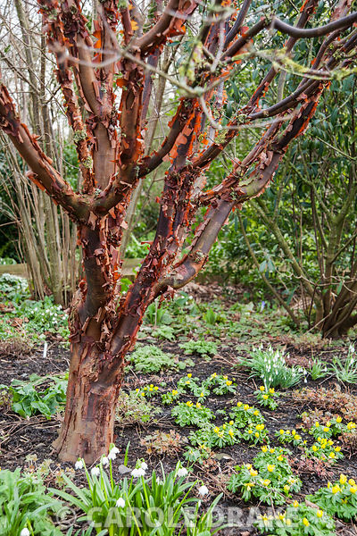 Acer griseum underplanted with yellow aconites and snowdrops. Ivy Croft, Ivington Green, Leominster, Herefordshire, UK