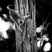 4131-Monkey_on_a_tree_Laurent_Baheux