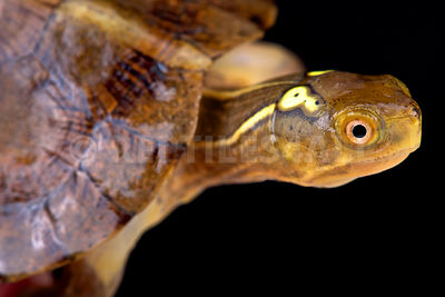 Beal's eyed Turtle (Sacalia bealei) photos