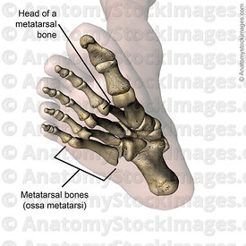 foot-metatarsal-bones-head-bone-toes-feet-bottom-skin-names