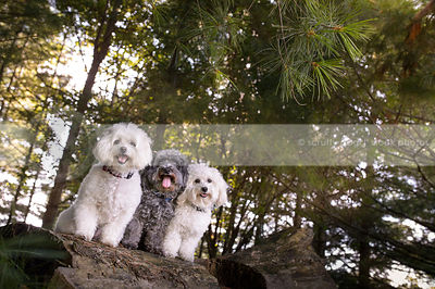 three little poodle crosses posing on log in forest