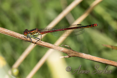 Large Red Damselfly (Pyrrhosoma nymphula) photos