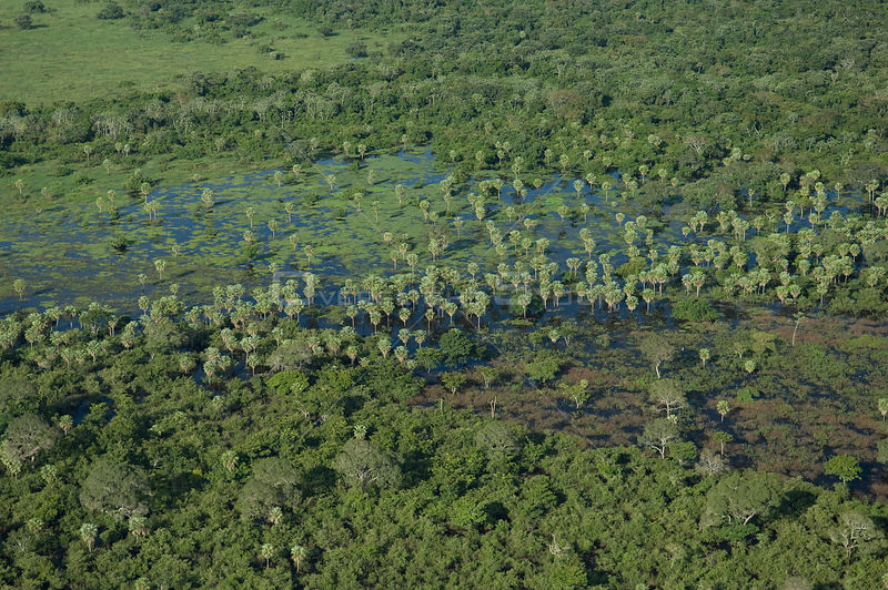 "Aerial view of ""Caranday"" palm trees (Copernicia alba) in the flooded plains of the Beni Department of Bolivia, during the 2008 great flood of the Mamoré River."