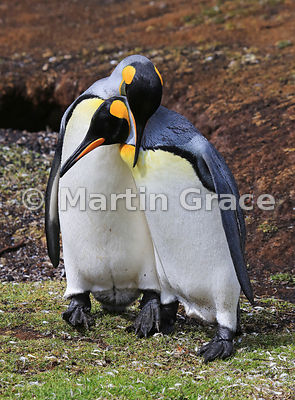 Pair of King Penguins (Aptenodytes patagonicus) displaying to each other as part of their courtship ritual, Volunteer Point, East Falkland, Falkland Islands