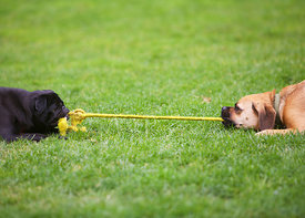 Black Pug and Tan Puggle Play Tug of War