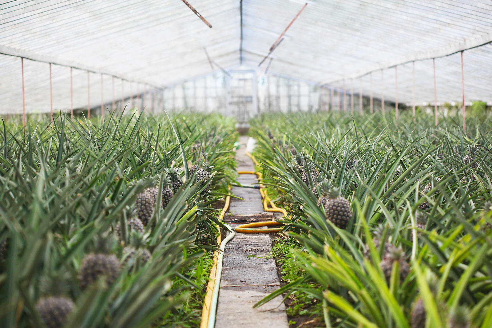 Greenhouse Pineapples on Sao Miguel Island, Portugal
