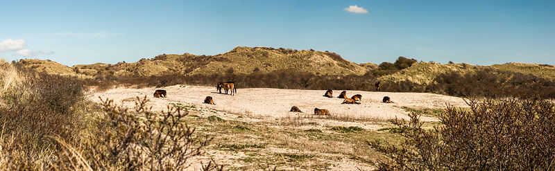 Konik horses in the dunes - panorama.
