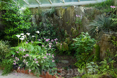 Conservatory built between the house and the rocky outcrop behind it, is home to a range of tender species including Geranium palmatum and arum lilies. Windy Hall, Windermere, Cumbria, UK