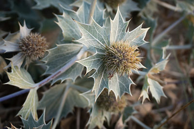Sea Holly or Blue seathistle after flowering