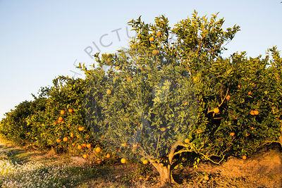 Orange trees, Mallorca, showing ripening fruit, in March.