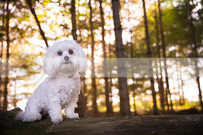 cute little white dog sitting on log in backlit pine forest