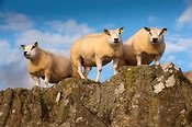 Beltex sheep in Scottish countryside