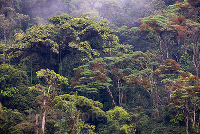Beautiful forest on a slope above the Rio Penas Blancas, Las Nubes, Costa Rica