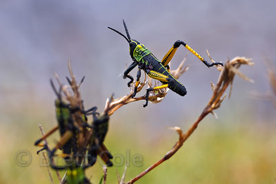 Green Milkweed Locust (Phymateus viripides), Wildcliff Nature Reserve, South Africa