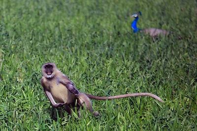 A wild langur monkey and wild peacock in a wheat field, Kharekhari village, Rajasthan, India