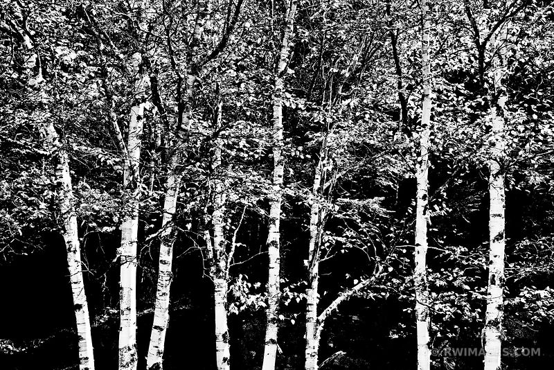 FOREST ADIRONDACK MOUNTAINS BLACK AND WHITE