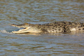 A crocodylus porosus, a saltwater crocodile swiming in Porosus Creek of the Hunter River in the Kimberley region of Western Australia.