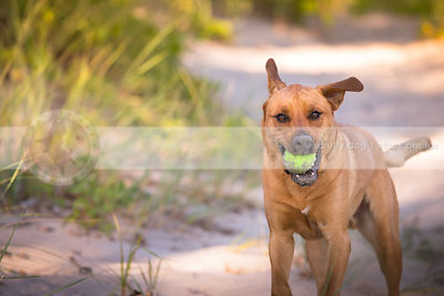 tan mixed breed dog fetching ball running in sand