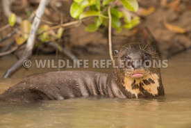 giant_otter_body_portrait-2