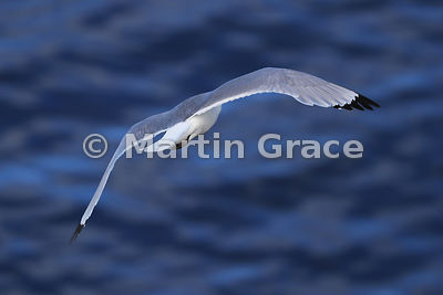 Black-Legged Kittiwake (Rissa tridactyla) in flight, from the rear, Hafnarholmi, Austurland (Eastern Region, East Iceland), Iceland