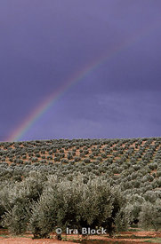 A rainbow over an olive orchard, Ubeda, Spain.
