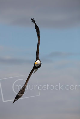 Bald Eagle_MG_0848-2