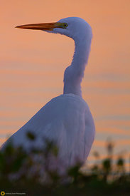 Great Egret #10