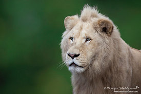 White Lion Portrait