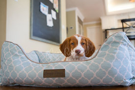 Brittany spaniel puppy in blue dog bed