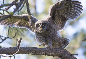 Great Gray Owl, Owlet