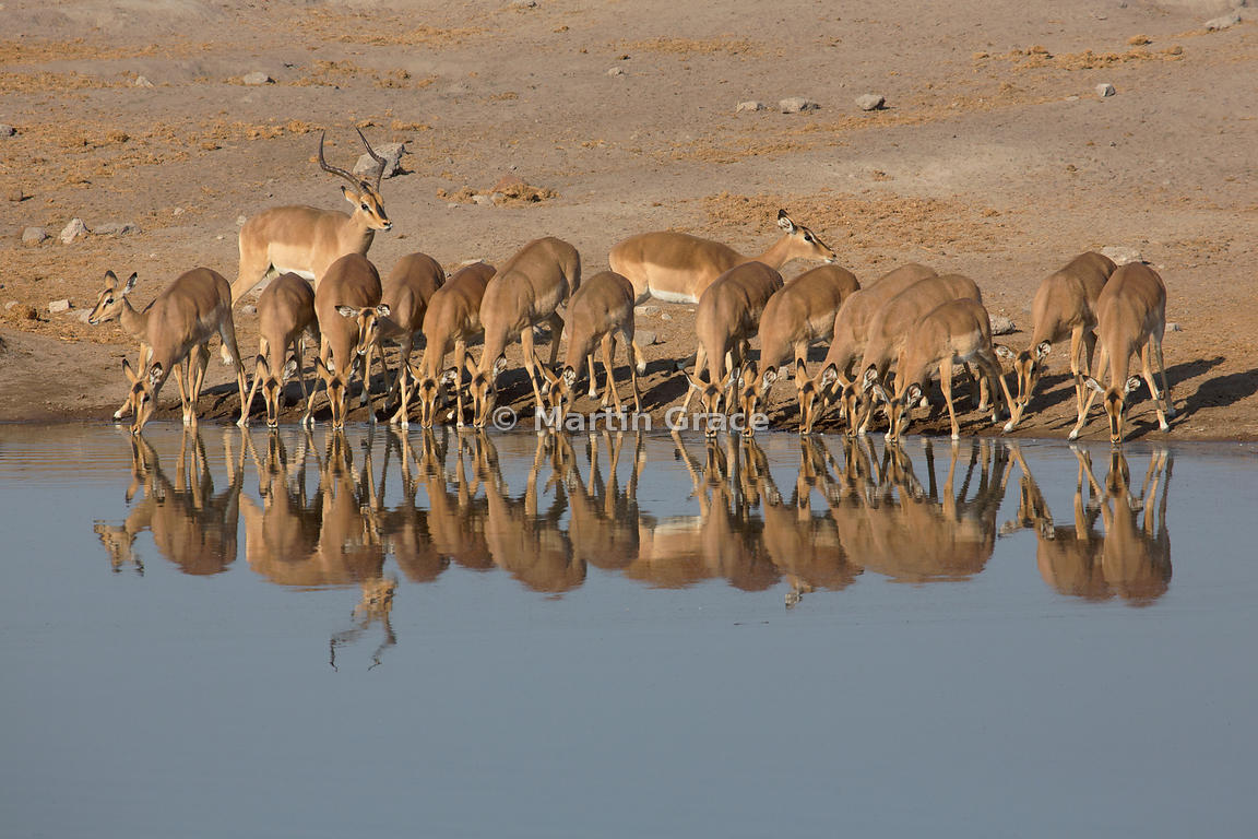Male Black-Faced Impala (Aepyceros melampus petersi) guards his harem of drinking females, Chudob waterhole, Etosha National Park, Namibia