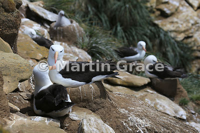 Pair of Black-Browed Albatross (Thalassarche melanophrys), The Rookery, Saunders Island