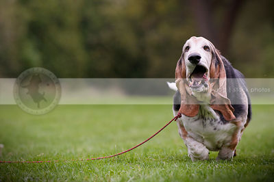 goofy humorous basset hound dog running in park grass