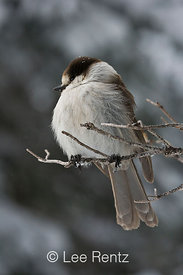 Gray Jay (Perisoreus canadensis) perched on a branch during a snowstorm on Hurricane Ridge, Olympic National Park, Olympic Peninsula, Washington, USA, March, 2009_WA_8115
