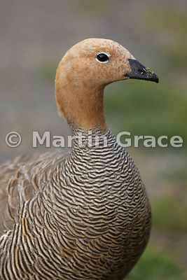 Ruddy-Headed Goose (Chloephaga rubidiceps), Darwin, East Falkland
