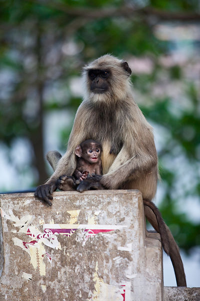 India - Chandannagar - A langur monkey and its mother sit on a pillar  on the banks of the  Hooghley River