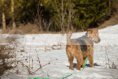 airedale terrier standing in field of snow