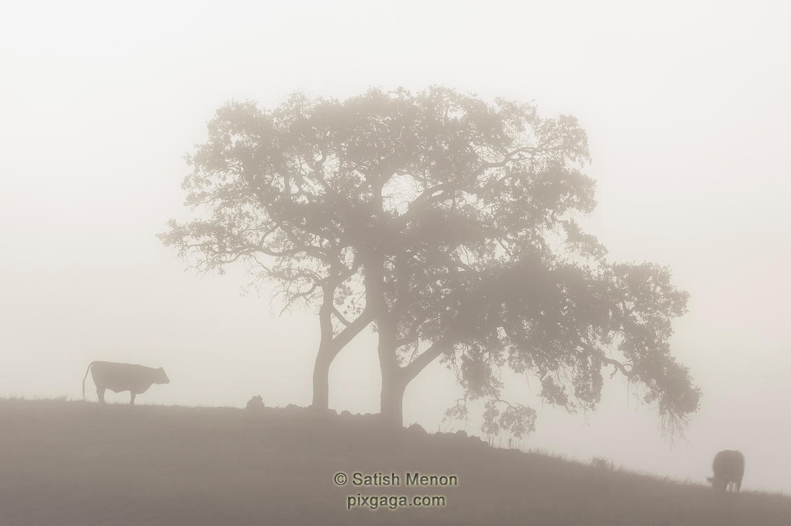Cows and Trees, Foggy Morning, Morgan Hill, CA