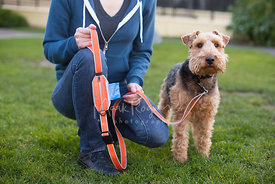 Airdale Terrier Standing Next to Woman Kneeling next to it holding an Orange Leash