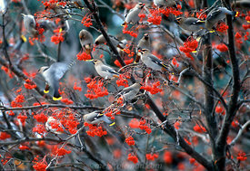 105 Waxwing Frenzy